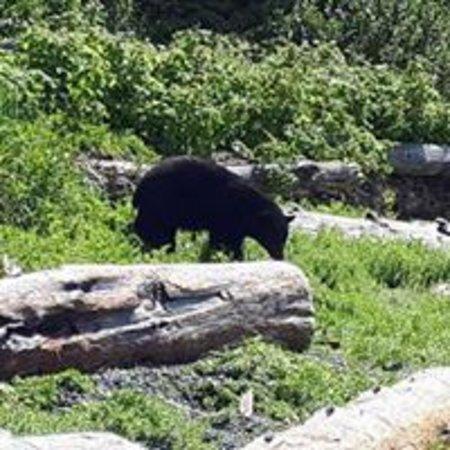 Nootka Island, Canada: Black Bear