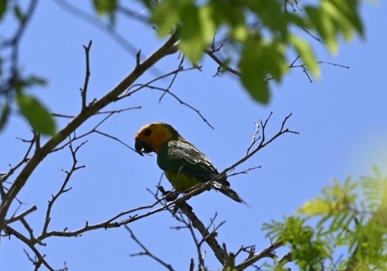 The Yellow-shouldered Parrot