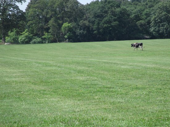 Bridgeville, DE: One of the cows in the pasture beside the Creamery Store.