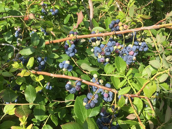 Tawas Blueberry Farm