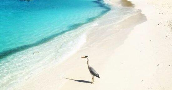 Vaavu Atoll: Alimatha Island Maldives.