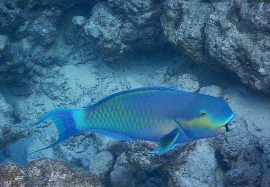 Vaavu Atoll: Maldives. A beautiful Parrot fish.  Un bellissimo pesce pappagallo.