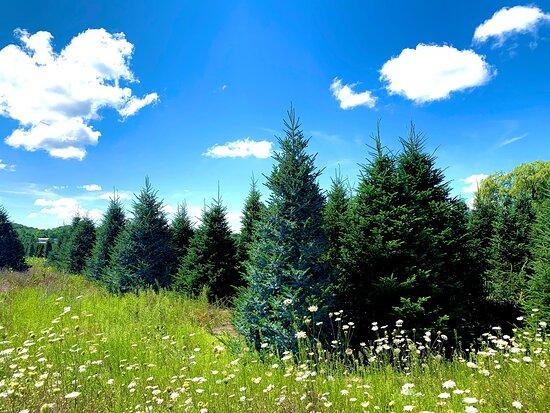 Dutchman Tree Farm