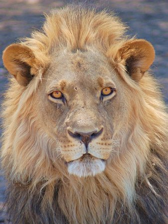 Botswana: The king of the savana!