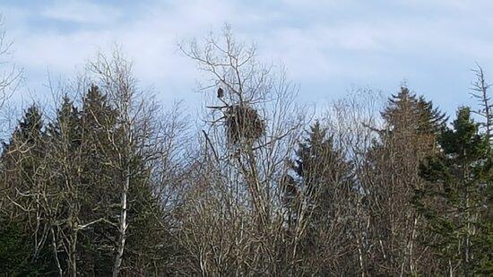 East Machias, ME: Eagles nest Just a short walk up Sunrise Trail