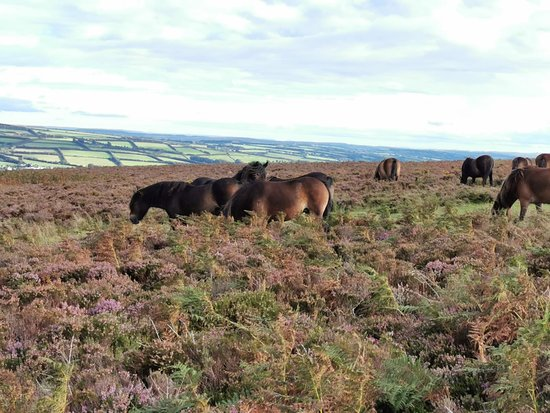 Wheddon Cross, UK: Herd of Exmoor ponies. Keep a healthy distance they are wild animals!