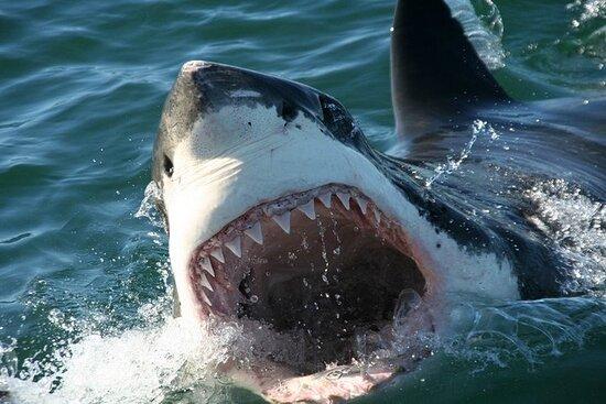 Duiken met haaien