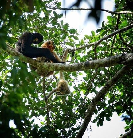 Yellow-cheecked gibbon family