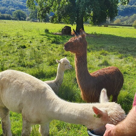 Woodlands Alpacas