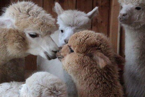 GAW Graceland Alpacas Wehrsdorf