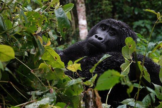 Giant Gorilla Safaris