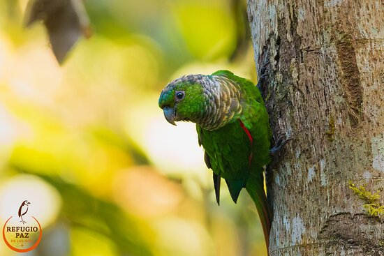 Mindo, Ecuador: Maroon-tailed Parakeet, they are usually flying in big groups, so I was very lucky to got that pic..
