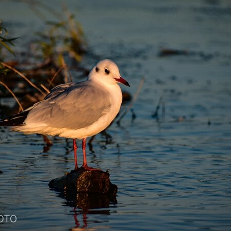 Mahmudia, Ρουμανία: Birds