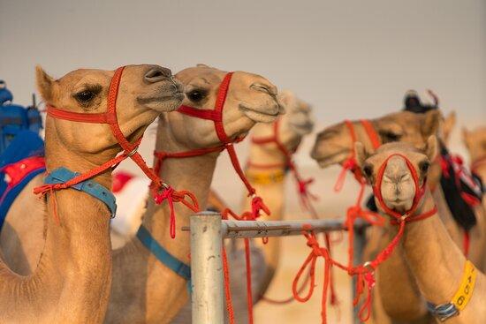 Royal Camel Racing Club