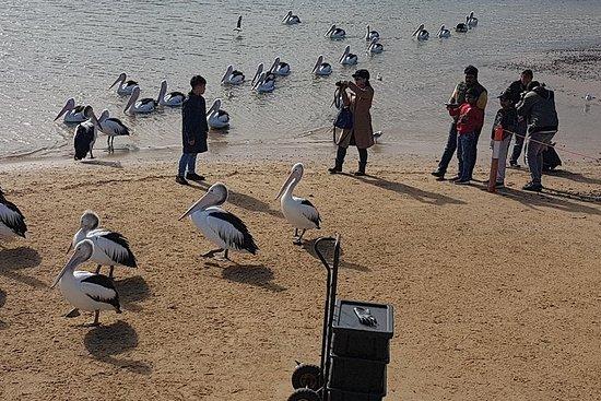 Pure Nature - Phillip Island, pingouins et rencontre exclusive avec...