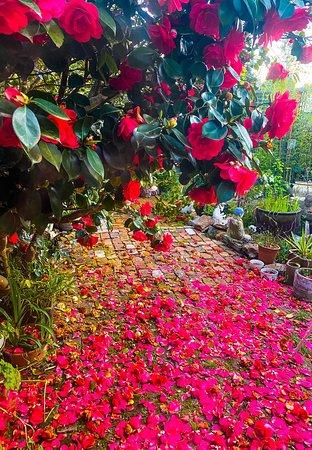 Blue Mountains, Austrália: Early spring Camellias in Blackheath
