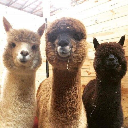 Alpaca Acres Farm and Fiber
