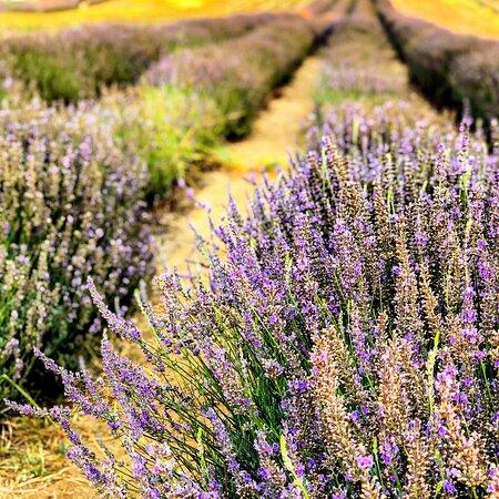 Yanchep Lavender