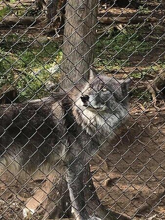 un magnifique loup du zoo Miller!!