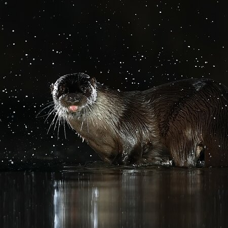 Lincolnshire, UK: Otter in the night