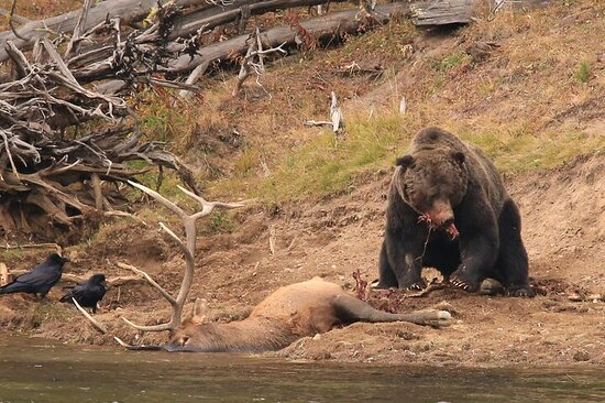 Private Yellowstone Wildlife Safari with guided hikes...