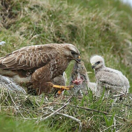 Buzzard feeding young