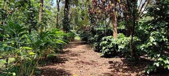 Mercara Gold Estate Coffee Plantation