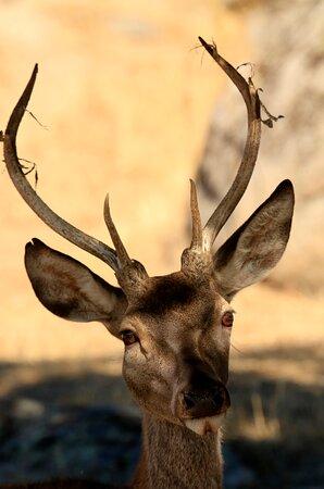 Bareto de ciervo