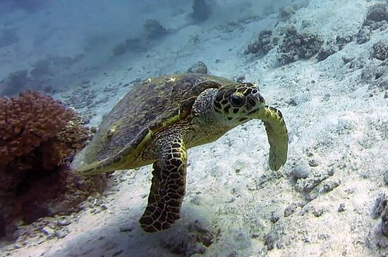 Hurghada Red Sea turtle