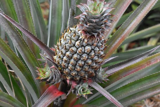 pineapple plant with more to grow soon