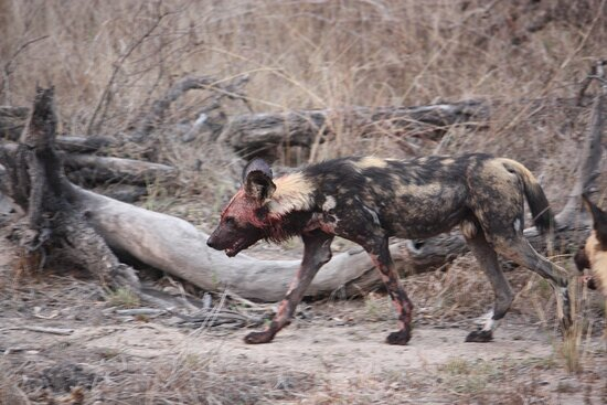 Ngala Private Game Reserve, África do Sul: Painted Wolf (wild dog) after a kill