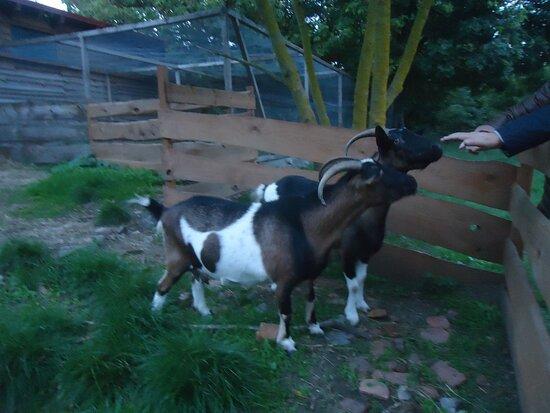 Miedzychod, Polonia: Niewątpliwą atrakcją są dwie przyjazne kozy i ..... stadko kur zielononóżek [ za kozami ].