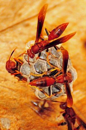 Rupununi, Guyana: Karanambu - Wasps in roof of room