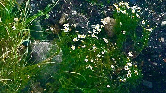 Angus, UK: Innocent and pure cheerful little daisies thriving in a hostile stony shoreline .