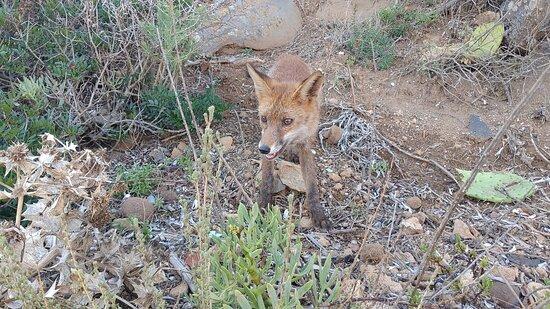 Nurachi, Italie : Piccola volpe a Caletta del Faro, alla fine della Penisola del Sinis