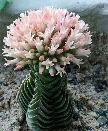 Un bellissimo e rarissimo fiore 🌹 di CACTUS 🌵....