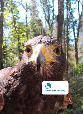 Ryton, UK: One of our many Harris hawks