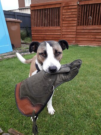 Ryton, UK: Our helper Ralph the rescue dog.