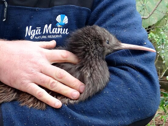 Waikanae, نيوزيلندا: Nga Manu is proud to be a part of the nation wide kiwi breed-for-release programme.  