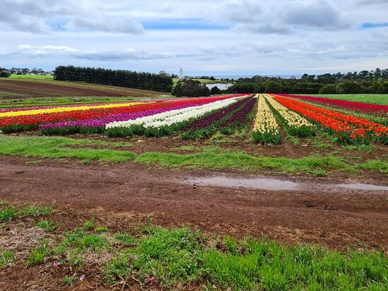 Table Cape Tulip Farm