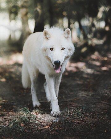 Rheinbollen, Germany: Polarwolf