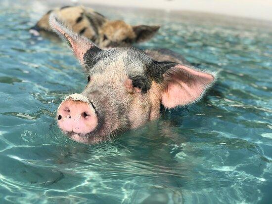 Pig Beach Bahamas Tours