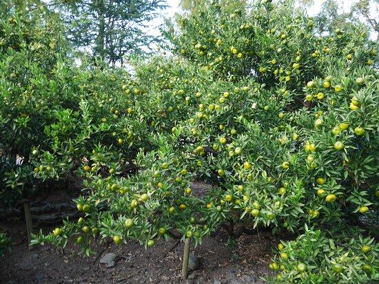 Orange Trees Planted by Ieyasu Tokugawa