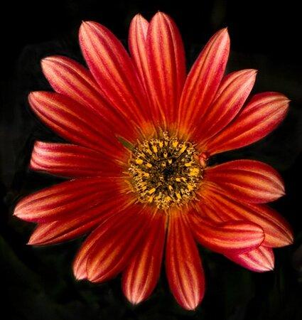 Shearer Flower