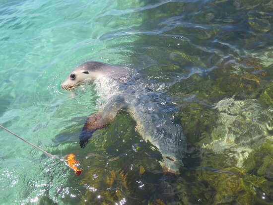 Bairds Bay, Australia: swimming with sea lions