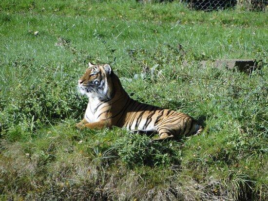 Port-Saint-Pere, France: visite de l'enclos des tigres