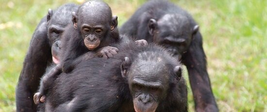 Demokratyczna Republika Konga: Visit the Bonobo in Salonga National Park from DR Congo with IT ELEPHANT TOURS  Get your Contact for anny informations a bout the bonobo of Congo, the northen part of Congo in the Province of Equateur...... Contact us Now on: Tel +243 973 318 468 E-mail: itelephanttours@gmail.com https://tourismattractions.business.site/