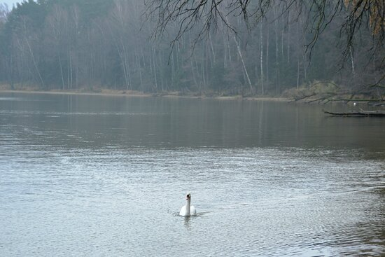 Kaliningrad Oblast, Rusija: Лебедка плывет за лебедем.