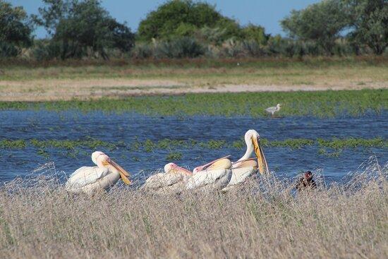 Provincia de Gaza, Mozambique: Pelicans enjoying the the rainy season at BNP! Can't ask for more