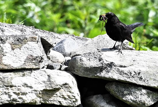 Rennesoy Municipality, נורווגיה: Området har et rikt fugleliv. Svattrost med meitemark til sine unger.